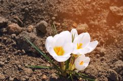 Weiße Krokusse, Konzept des Frühlinges, schöne Blume, natürliche Tapete, Nahaufnahme lizenzfreie stockfotos