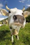 Weiße Kuh! Stockfotos