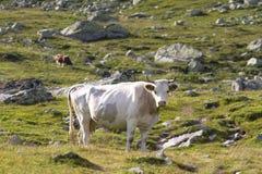 Weiße Kuh Stockfoto