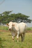 Weiße Kuh Stockfotografie