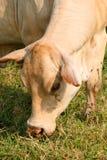 Weiße Kuh Lizenzfreie Stockfotografie