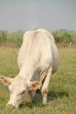 Weiße Kuh Lizenzfreie Stockbilder