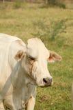 Weiße Kuh Stockfotos