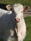 Weiße Kuh Stockbilder