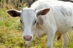Weiße Kuh auf Wiese lizenzfreies stockbild
