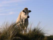 Weiße Kuh in den Dünen Lizenzfreie Stockfotografie