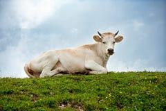 Weiße Kuh, die auf dem grünen Hügel liegt Lizenzfreie Stockfotos