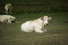Weiße Kuh, die im Gras sitzt Stockfotografie