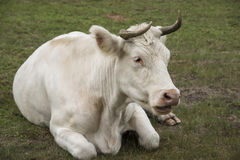 Weiße Kuh, die im Gras sitzt Lizenzfreie Stockbilder