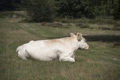 Weiße Kuh, die im Gras sitzt Stockbilder