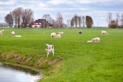 Weiße Lämmer mit Schafen auf niederländischem Hirten Stockbilder
