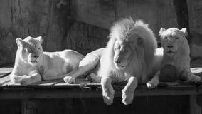 Weiße Löwen Stockfoto