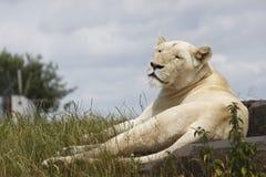 Weiße Löwin Stockfotografie
