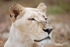 Weiße Löwin Stockfotos