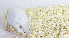 Weiße Laboralbinomaus, die in einem Plastiklaborbehälter sitzt und seine Mündung, Gesicht säubert stock video footage