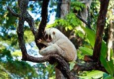 Weißer langsamer loris Affe Stockfotografie