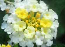 Weiße Lantanablume Stockbild
