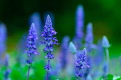 Weiße Lavendelblumen nah oben gesehen Lizenzfreie Stockbilder