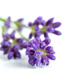 Weiße Lavendelblumen nah oben gesehen Lizenzfreies Stockfoto