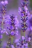 Weiße Lavendelblumen nah oben gesehen Lizenzfreie Stockfotos