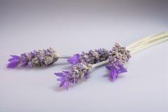 Weiße Lavendelblumen nah oben gesehen Stockbild