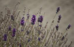 Weiße Lavendelblumen nah oben gesehen Lizenzfreie Stockfotografie
