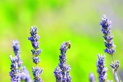 Weiße Lavendelblumen nah oben gesehen Stockfotografie