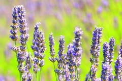 Weiße Lavendelblumen nah oben gesehen Lizenzfreies Stockbild