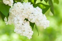 Weiße lila Blüte im Frühjahr lizenzfreie stockfotografie