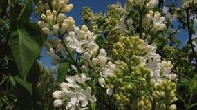 Weiße lila Blüten Stockbild