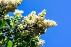 Weiße lila Blumen Lizenzfreie Stockfotografie