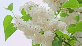 Weiße lila Niederlassung stock footage