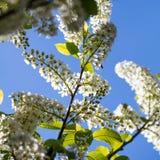 Weiße lila Niederlassungen über blauem Himmel im sonnigen Frühjahr Stockfotografie
