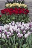 Weiße lila rote und gelbe Tulpen auf der Straße in Amsterdam Lizenzfreie Stockbilder