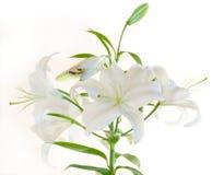 Weiße Lilie lizenzfreie stockfotografie