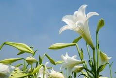Weiße Lilie Stockbild