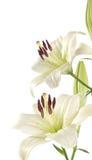 Weiße Lilie Stockbilder