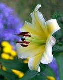 Weiße Lilie lizenzfreies stockbild