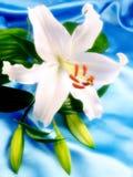 Weiße Lilie auf blauem Satin Stockbilder