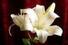 Weiße Lilie auf dem roten Hintergrund Lizenzfreies Stockbild