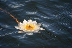 Weiße Lilie auf einem Hintergrund von Stockfotos