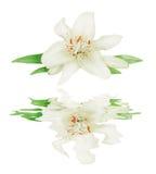 Weiße Lilie auf einem weißen Hintergrund reflektierte sich in einem Wasser Stockbild
