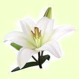 Weiße Lilie auf hellem Hintergrund Stockbild