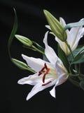 Weiße Lilie auf Schwarzem Stockbilder