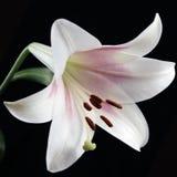 Weiße Lilie auf Schwarzem Stockfoto