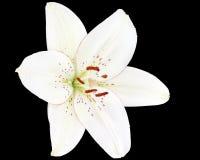 Weiße Lilie auf schwarzem Hintergrund Stockbilder
