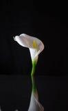 Weiße Lilie auf schwarzem Hintergrund lizenzfreies stockfoto