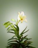 Weiße Lilie auf weichem grünem Hintergrund Stockbilder