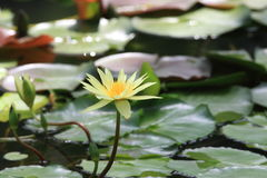 Weiße Lilie des Wassers Lizenzfreie Stockfotos