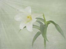 Weiße Lilie mit hellen Strahlen Stockfotografie